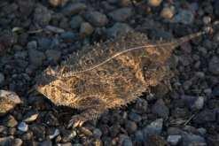 09051313PD_texas_horned_lizard