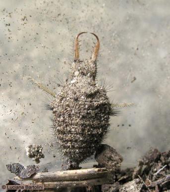 larva-di-formicaleone