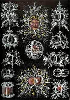 Stephoidea