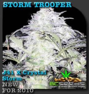 Storm_Trooper_Bud_seeds