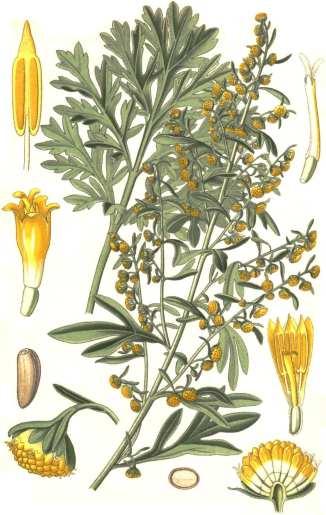 Artemisia absinthium scheda