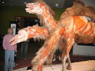 BodyWorlds2_Camel