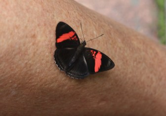 Black and red butterfly, Iguazu Falls