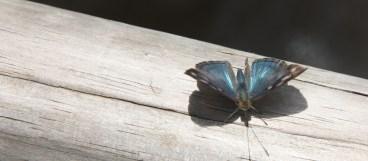 Blue and grey butterfly, Iguazu FallsBlue and grey butterfly, Iguazu Falls