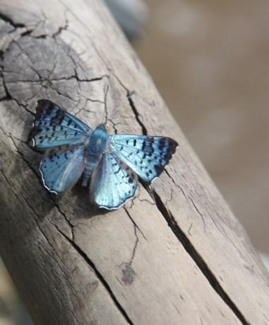 Blue butterfly, Iguazu Falls