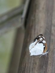 White and black butterfly, Iguazu Falls