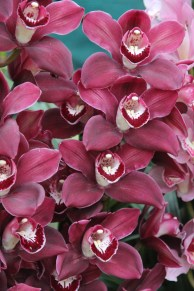 Red Nilly orchid