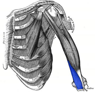 upper-body-workout-biceps-Brachialis