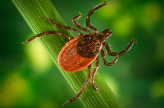 What do ticks and politicians have in common?