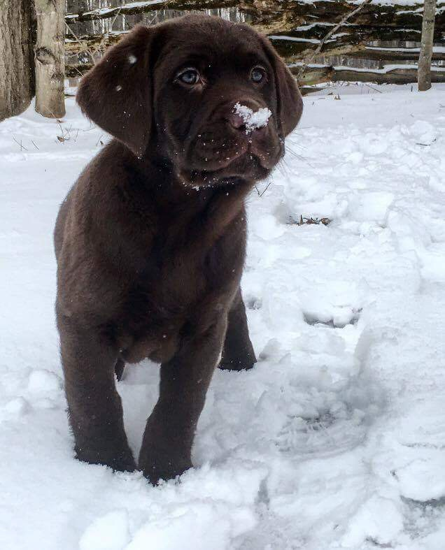 Chocolate_Lab_With_Heart_On_Nose_Photo_By_Jamie_Veltman.JPG