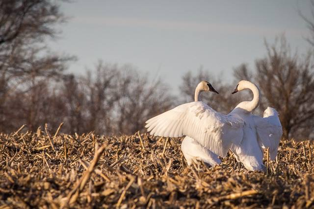 Swans_Photo_By_Gretchen_Steele