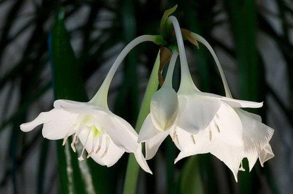 Bunga Amazon Lily
