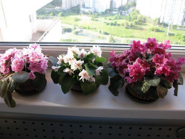 Violets az ablakpárkányon