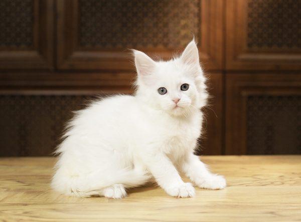 Ақ котенка