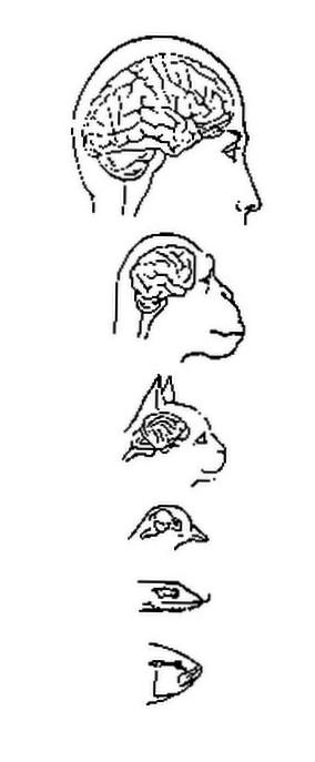 L'évolution des volumes des cerveaux.