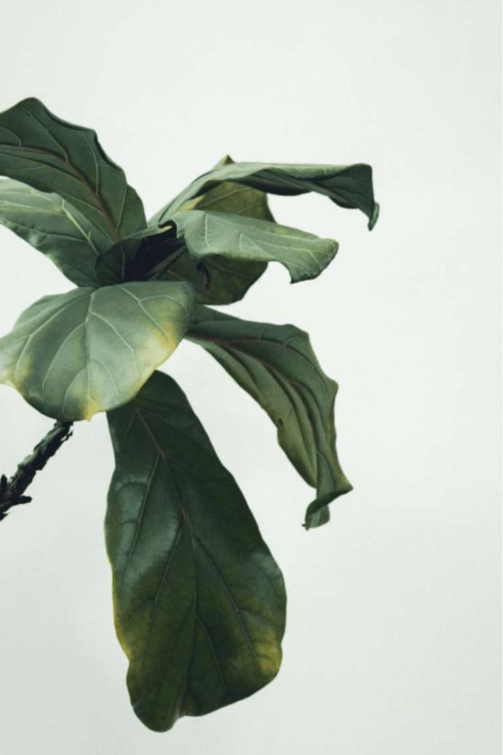 ficus perd ses feuilles