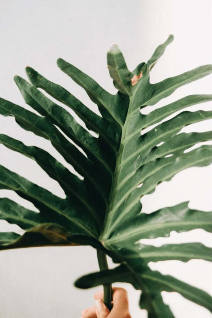 feuilles marron de ma plante