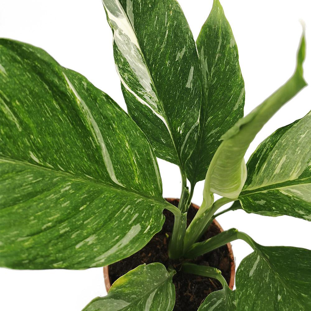 spathiphyllum diamond variegata, plante rare d'intérieur, facile d'entretie