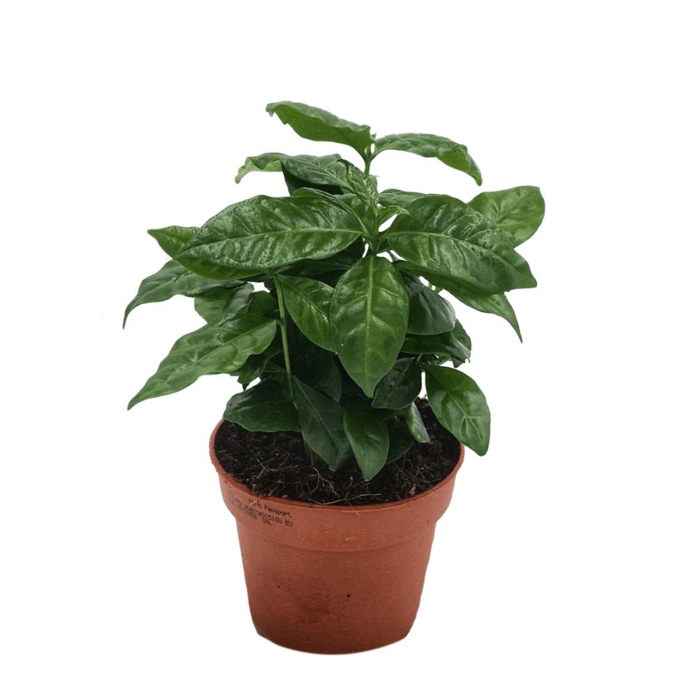 cafeier, plante d'intérieur facile d'entretien, exposition mi ombre