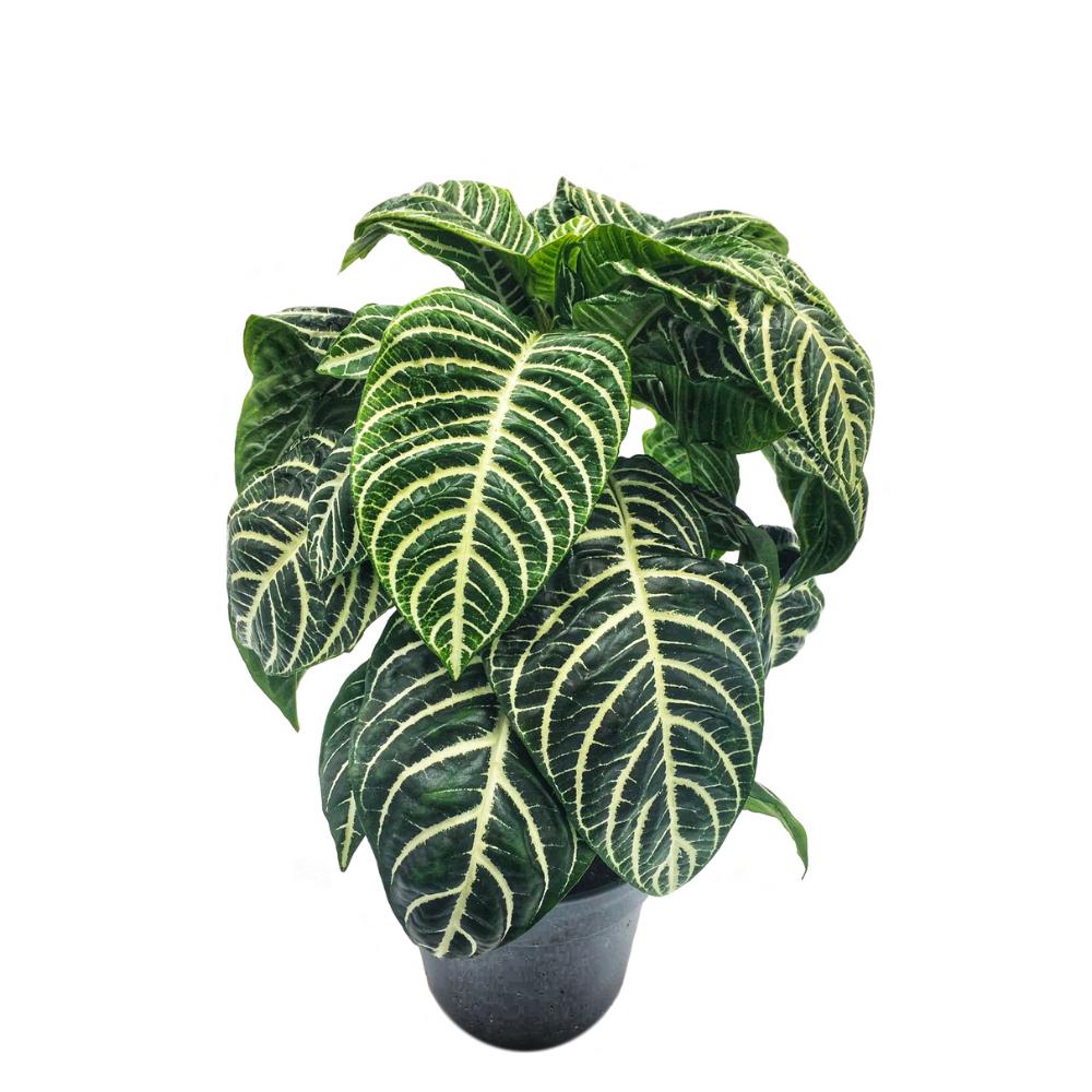 Aphelandra Squarrosa, plante facile d'entretien, exposition sans soleil direct