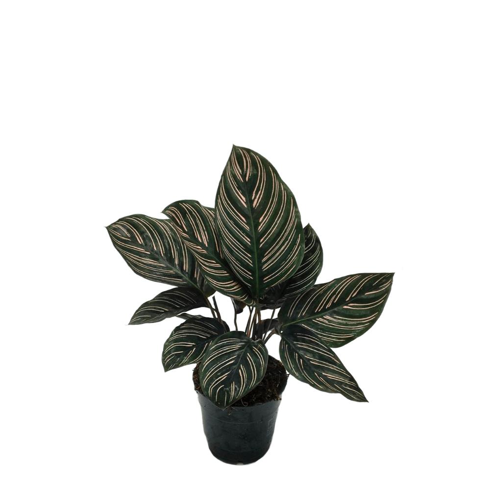 calathea ornata sanderiana, plante d'intérieur, facile d'entretien