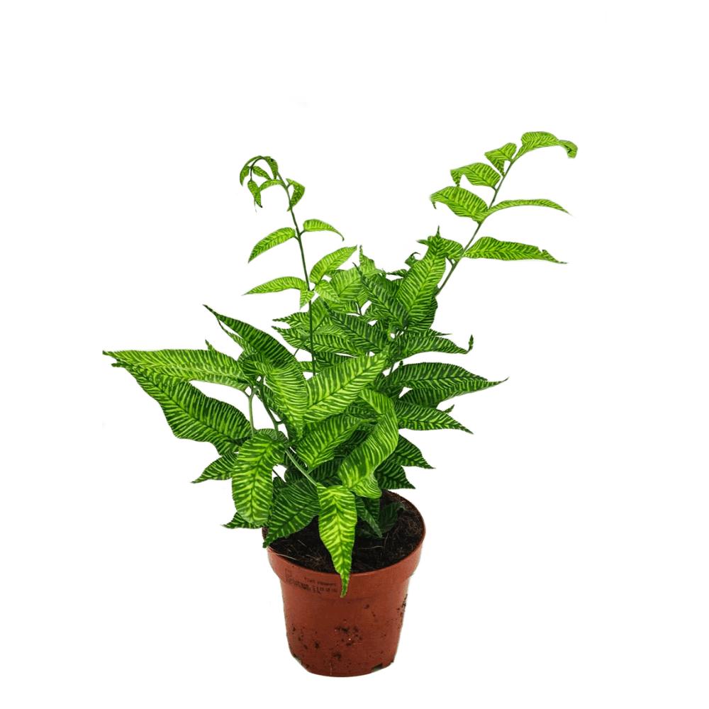 coniogramme emeinensis, plante verte d'intérieur facile d'entretien, faible luminosité, pour toute la maison