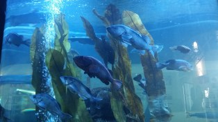 Aquarium at the salmon hatchery.