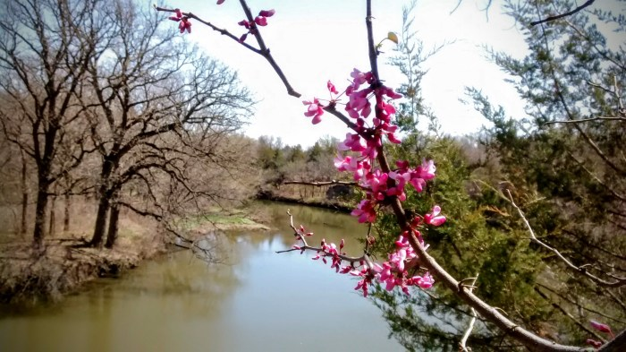 Redbud blossoms on the bluffs overlooking Elm Creek at Wild Plum blossoms at Lehigh Portland Trails