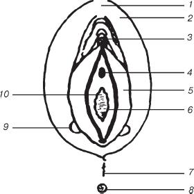 Наружные половые органы женщины
