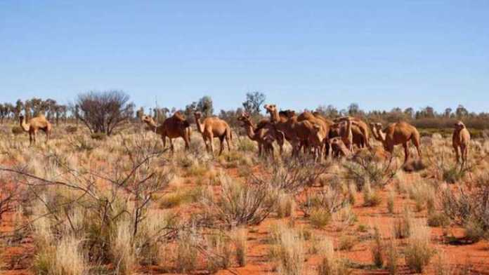 5,000 camels shot dead for drinking too much water in drought-hit Australia