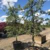 Appelboom malus elstar fruitboom