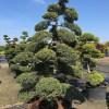 Japanse tuin bonsai