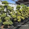 Ilex gartenbonsai bonsai