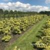 Vormboom bonsai
