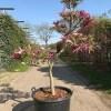 Magnolia vormboom