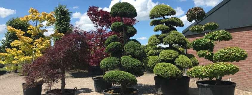 Niwaki vormboom bonsai