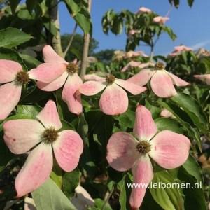 Cornus kousa bloem