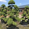 Ilex bonsai