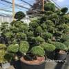 Niwaki bonsai