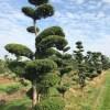 Japanse tuinbomen