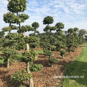Carpinus bonsai