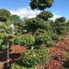 Parrotia tuinbonsai gardenbonsai