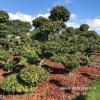 Parrotia bonsai