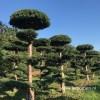 Taxus tuinbonsai