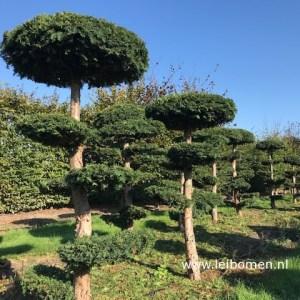 Taxus dovastoniana bonsai