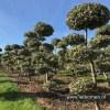 Hulst bonsai