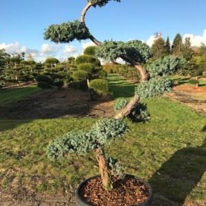 Juniperus tuinbonsai niwaki