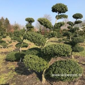 Ilex crenata bonsai nikwaki