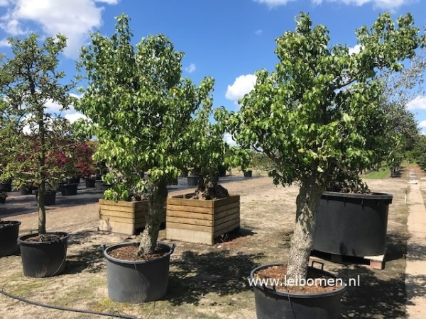 Fruitboom perenboom Confrence