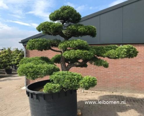 Pinus pentaphylla parviflora bonsai